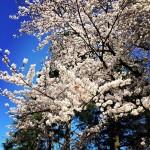 駒沢公園の桜は良い‼︎